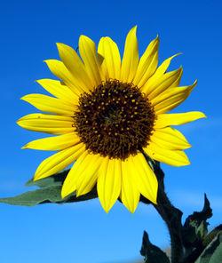 Annual-Sunflower