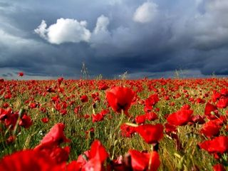 Storm-Over-Poppies