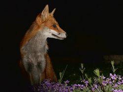 SHOOTING AT A FOX