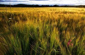 Corn-field-near-elgin_1_20090322_1231501694