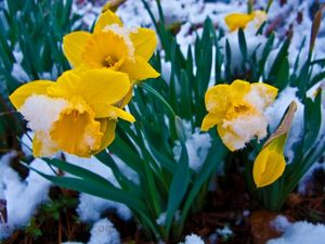 Snow-covered-daffodil-flowers