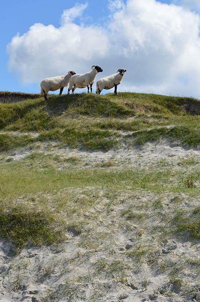 SHEEP ON BEACH 1