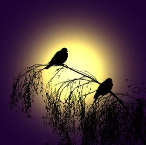 Pigeon_dawn_800