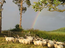 Sheep_and_rainbow_2